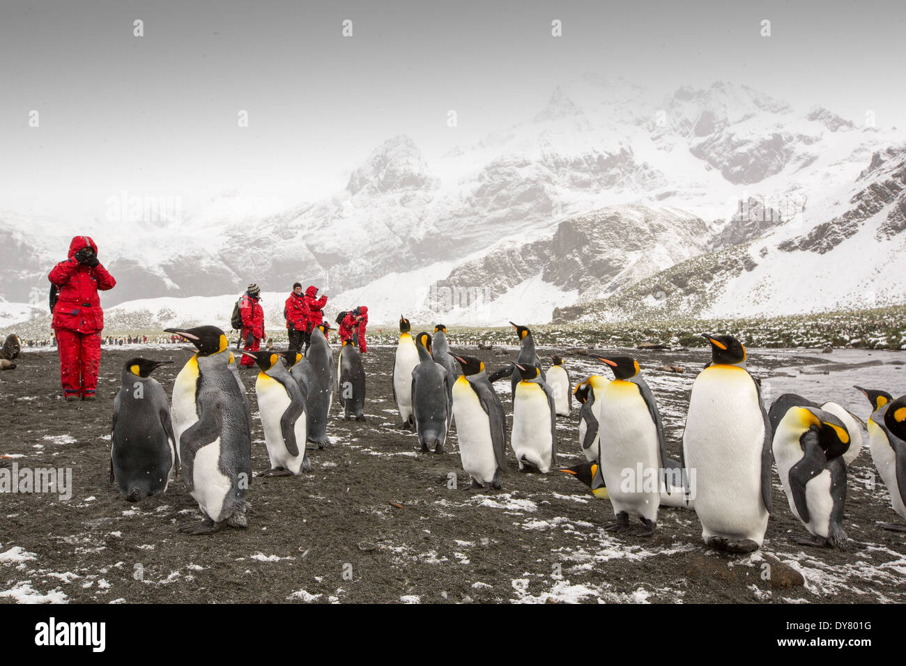 King Penguins at Gold Harbour, South Georgia, with passengers from an expedition cruise. - Stock Image