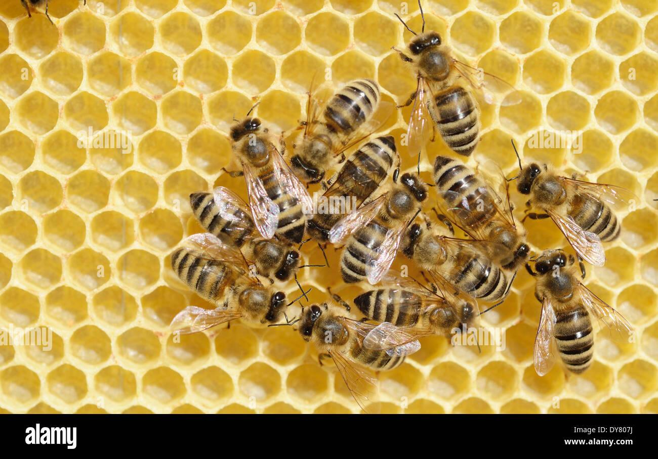 Honey Bees (Apis mellifera) on a freshly-built honeycomb Stock Photo