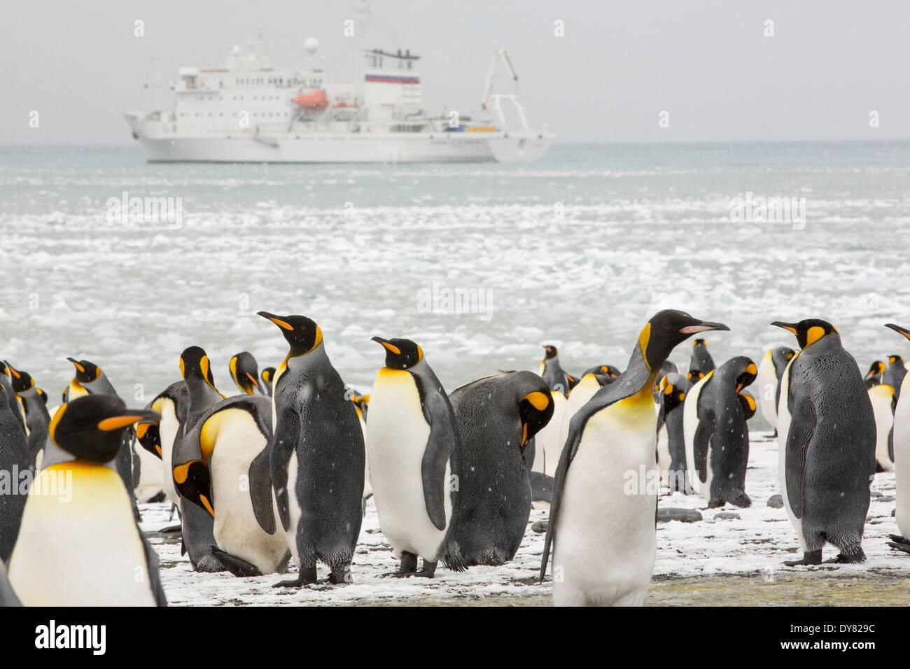 King Penguins at gold Harbor in South Georgia, Antarctica. - Stock Image