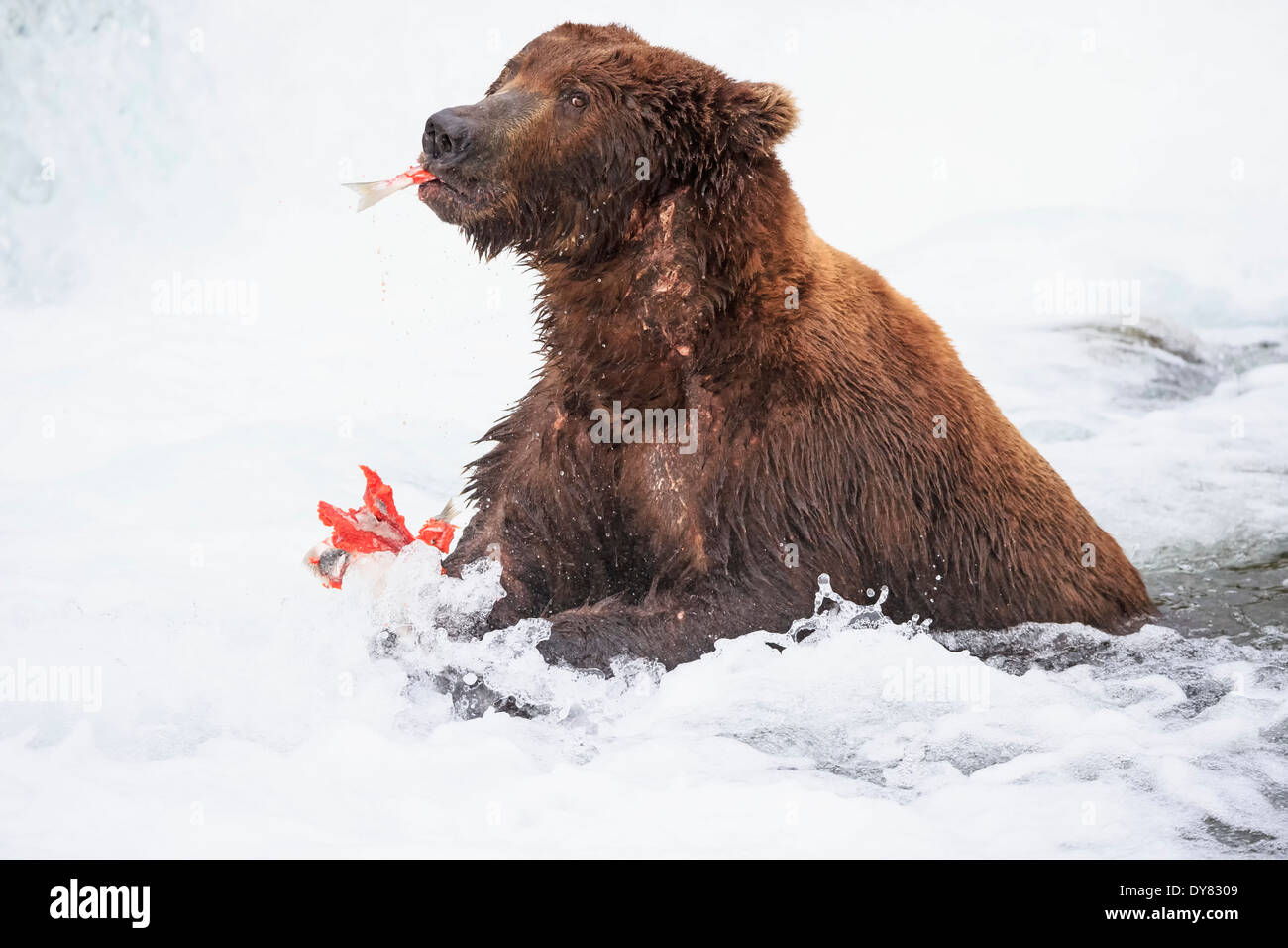 USA, Alaska, Katmai National Park, Brown bear (Ursus arctos) at Brooks Falls with caught salmon - Stock Image