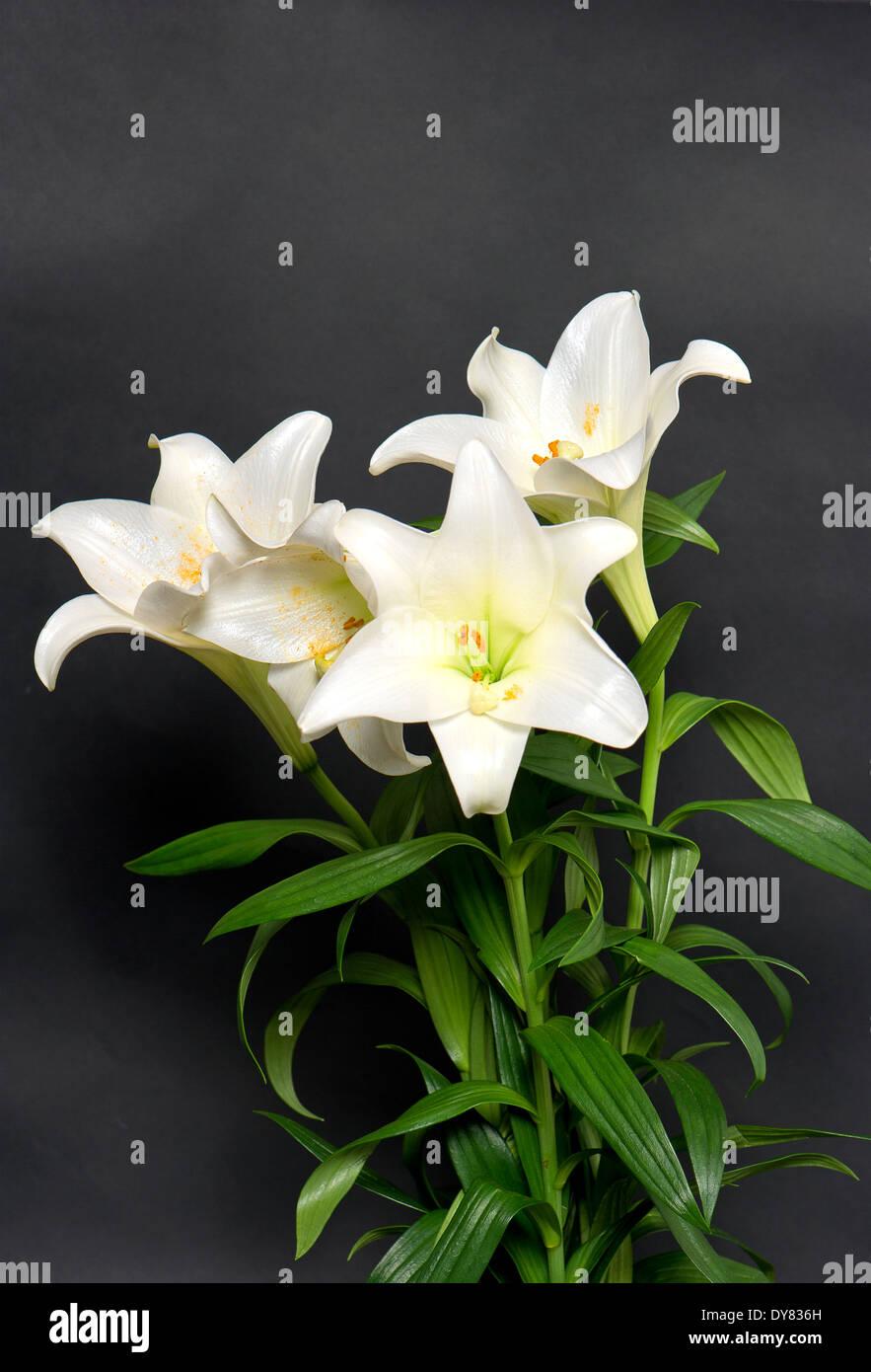 White lily flowers bouquet on black background stock photo 68404969 white lily flowers bouquet on black background izmirmasajfo