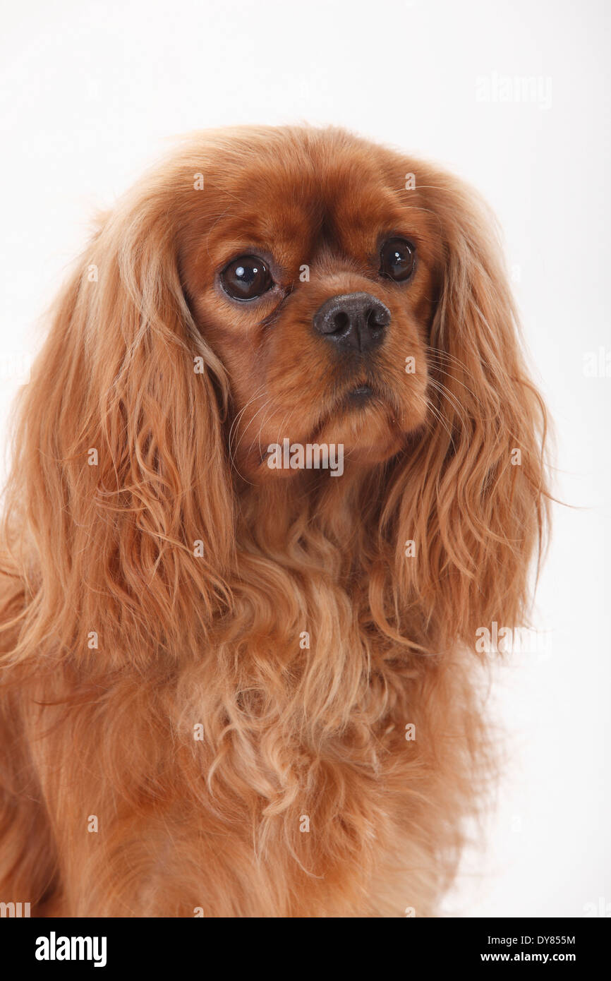 Cavalier King Charles Spaniel, male, ruby - Stock Image