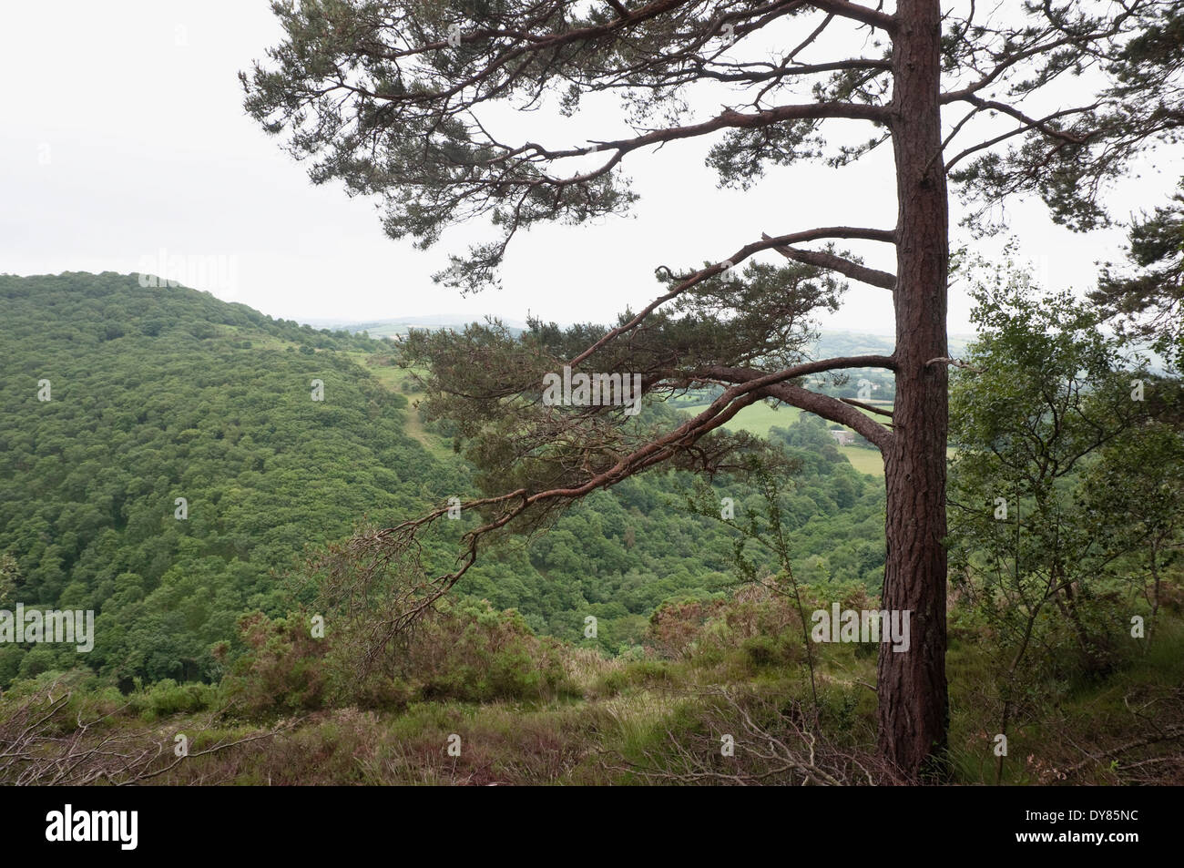 Ancient Devon woodland landscape with foreground of naturalised Scots Pine and extensive canopy backdrop of native English oaks. - Stock Image