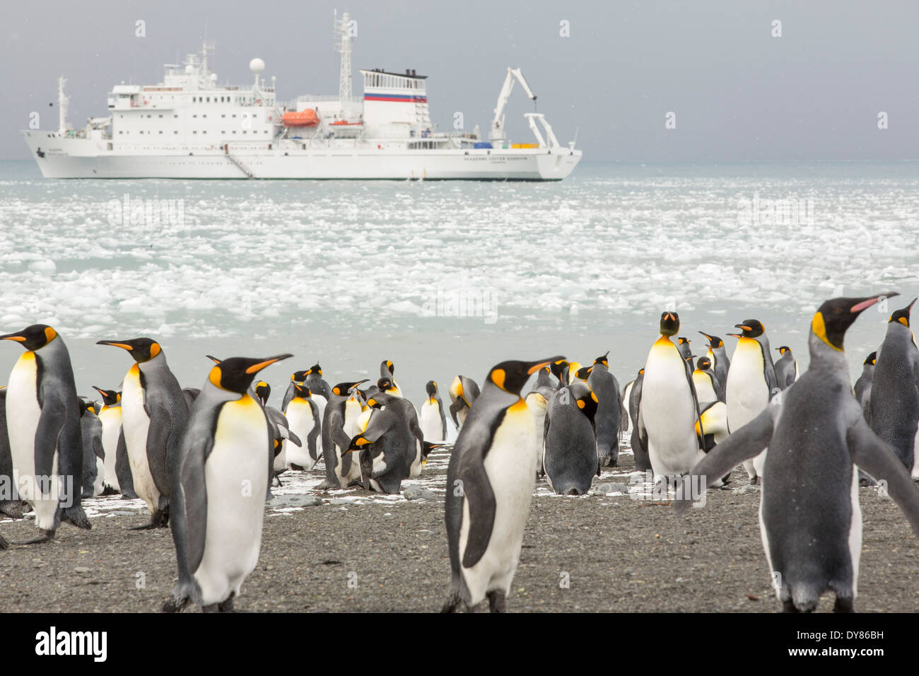 King Penguins on the beach at Gold Harbour on South Georgia, Southern Ocean with an expedition cruise ship behind. - Stock Image