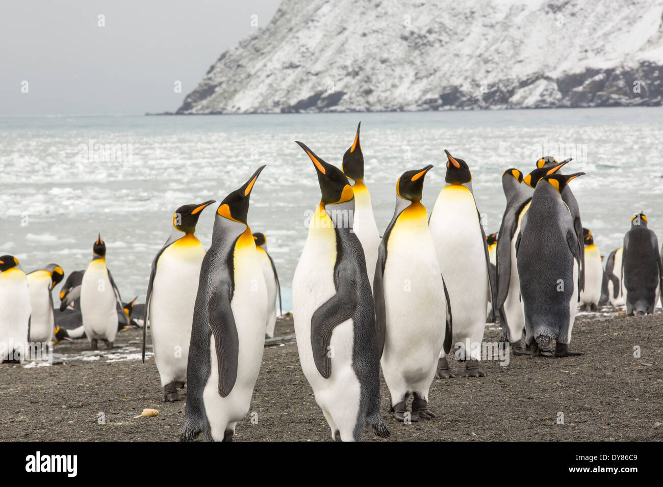 King Penguins at Gold Harbour, South Georgia, Southern Ocean. - Stock Image