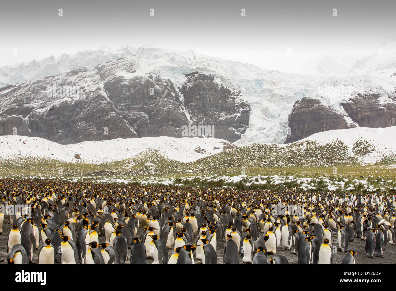 King Penguins on the beach at Gold Harbour on South Georgia, Southern Ocean with a rapidly retreating glacier behind. - Stock Image