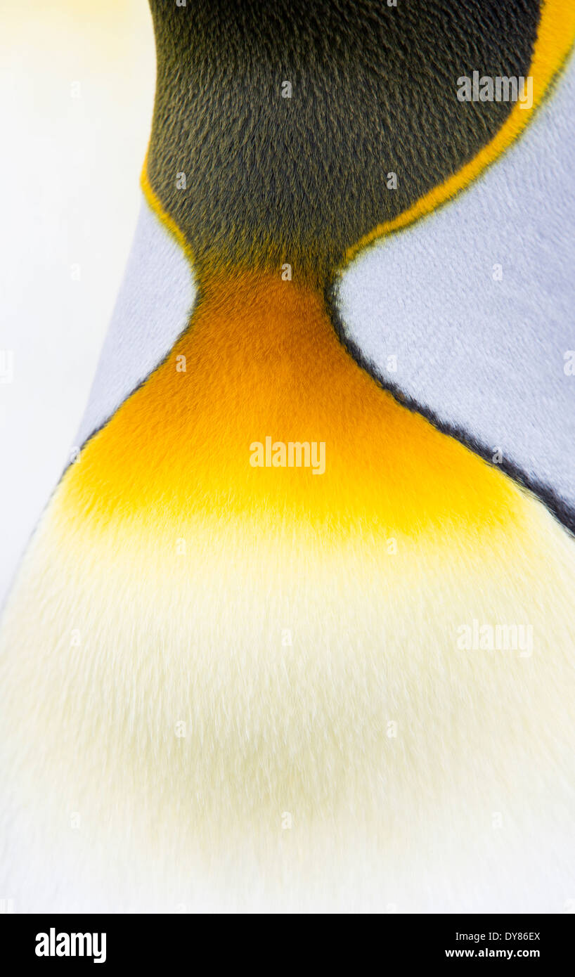 A close up of King Penguins neck plumage at Gold harbour, South Georgia, Southern Ocean. - Stock Image
