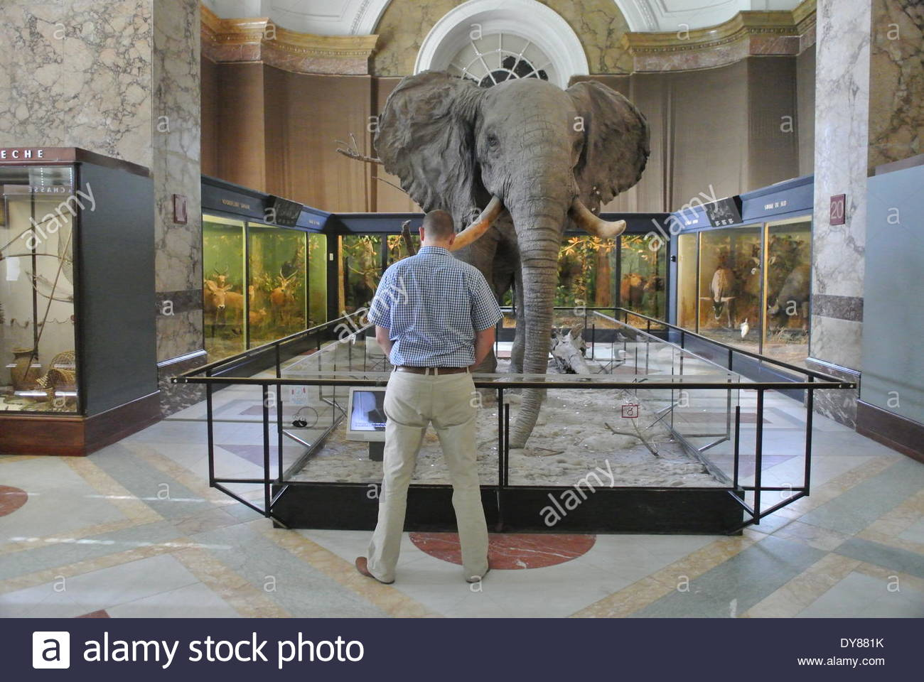 """Brussels, Belgium. 25th Aug, 2013. FILE PHOTO ''"""" A stuffed elephant is shown in a file photo Royal Museum for Central Africa in Tervuren, Brussels, on August 25, 2013. According to media reports, about 1.7 tonnes of ivory with an estimated value of 680,000 euros ($930,000) seized over recent years were to be destroyed today at the Royal Museum for Central Africa in Brussels. Reports says, 36.500 elephants are killed for their ivory every year.The museum closed for renovation on 1 December 2013 for a three-year renovation period. At the scene also, were ambassadors and dignitaries from v - Stock Image"""
