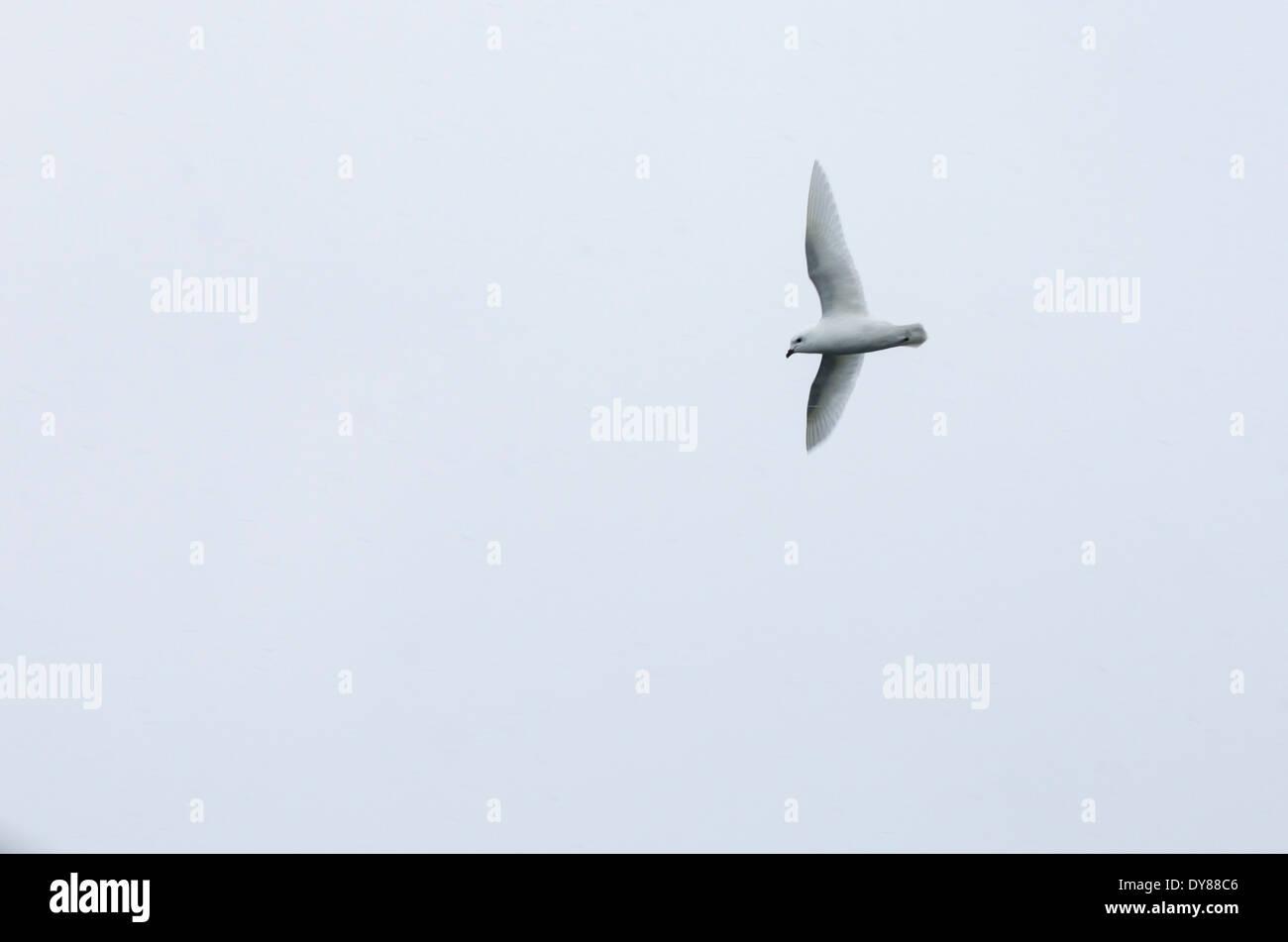 A Snow Petrel, Pagodroma nivea, flying near the Antarctic Peninsular, - Stock Image