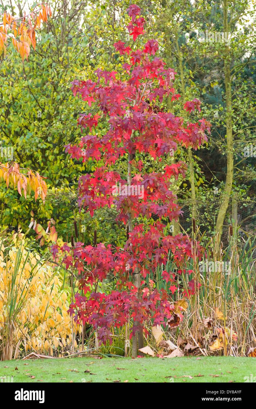 Liquidambar Styraciflua Festival Sweetgum Tree October Autumn Stock Photo Alamy