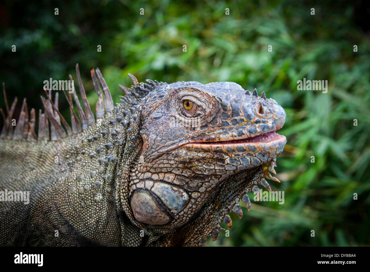 Green Iguana emerges from Costa Rican jungle in Central America - Stock Image