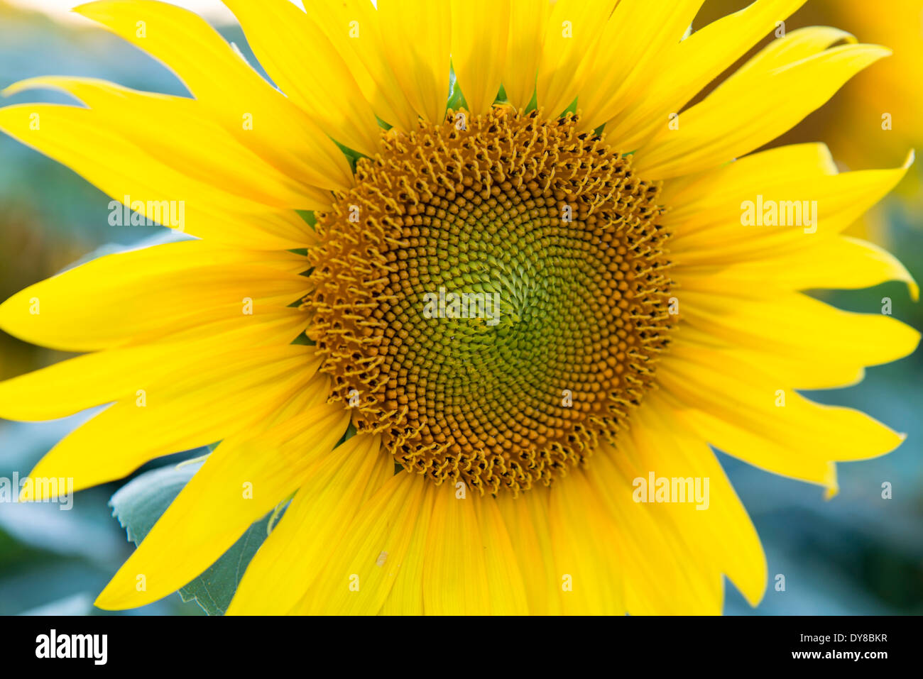 Blossom, Flourish, covers, Helianthus annuus, composites, patterns, sunflower, intense - Stock Image
