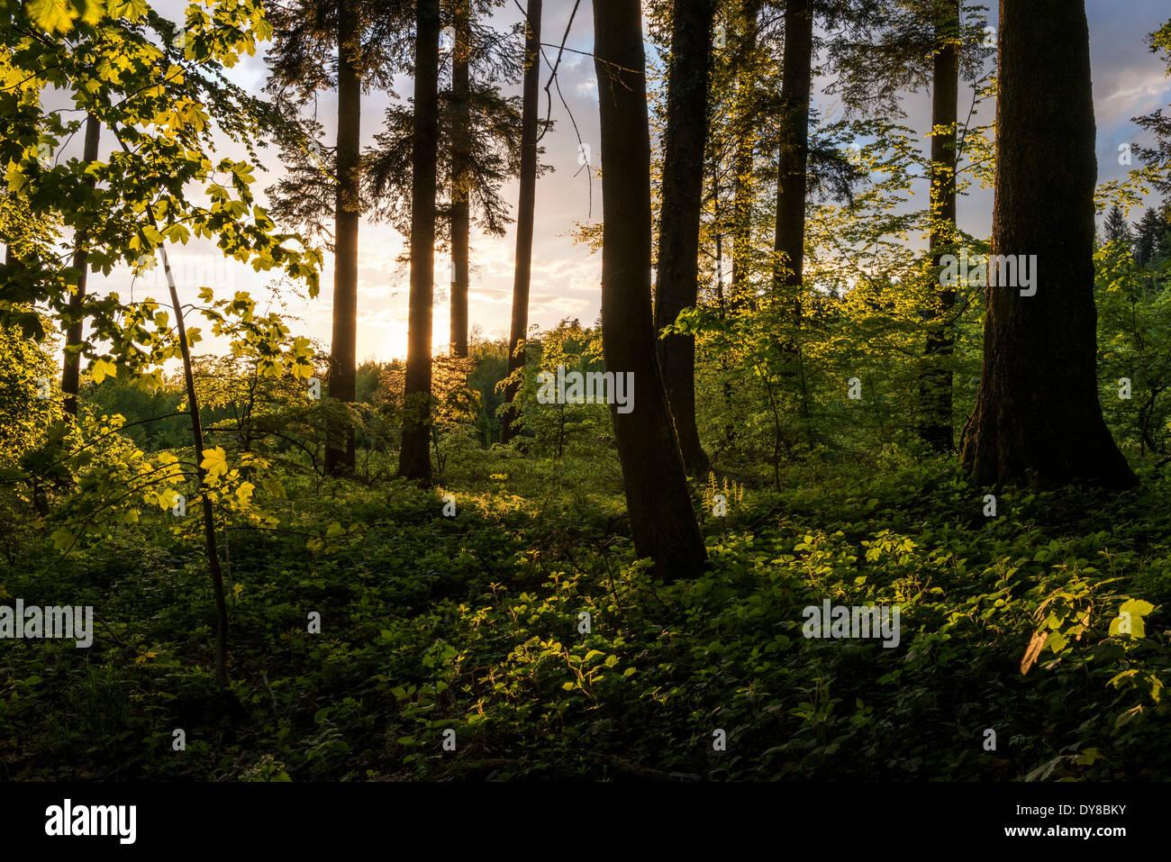 Tree, leaves, trees, spring, back light, beam of light, nature, Switzerland, Europe, shrub, bush, wood, forest, light - Stock Image