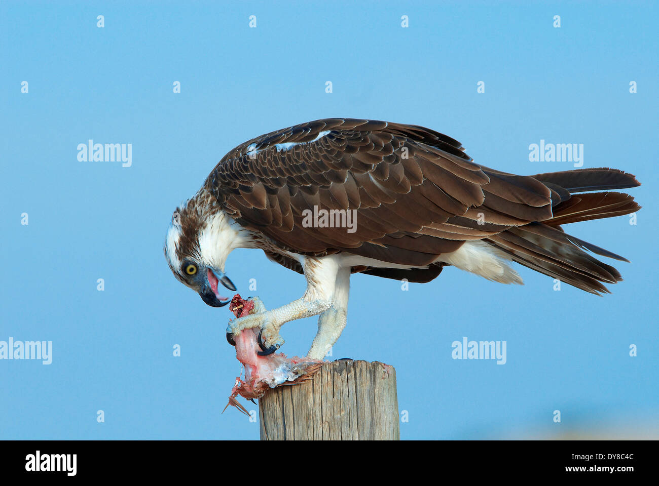 Eagle, Australia, cape Leveque, fish, animal, birds, Western Australia, prey, eat - Stock Image