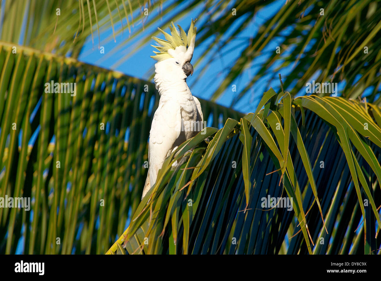 Australia, cockatoo, white, Queensland, animal, birds, Whitsunday Island - Stock Image