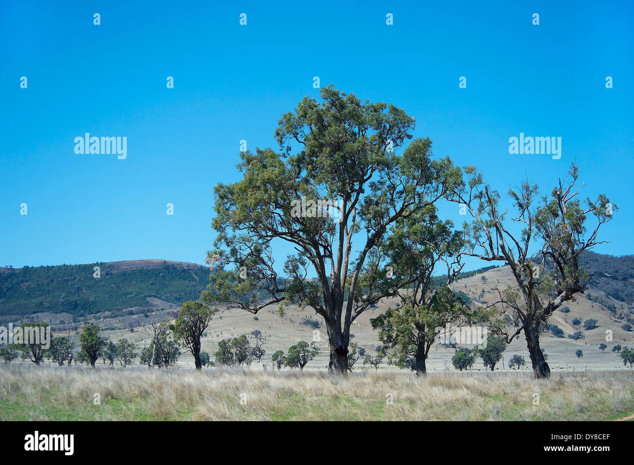Australia, eucalyptus, karri, Mount Kaputar, national park, New South Wales, plants, trees - Stock Image