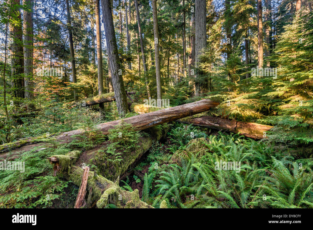 Douglas-fir trees, old-growth temperate rain forest, MacMillan Provincial Park, Vancouver Island, British Columbia, Canada - Stock Image