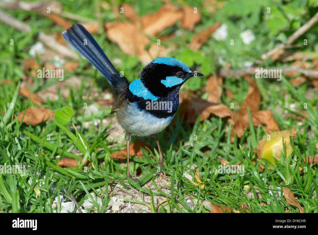 Australia, Fairy Wren, animal, Victoria, birds, Wilsons Promontory, national park, Physignathus Lesuerii, superb fairy wren, - Stock Image