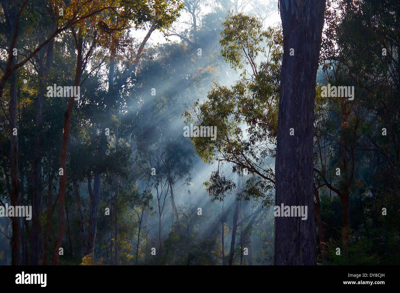 Australia, eucalyptus, karri, Lake Eildon, national park, plants, Victoria, wood, forest, trees, fog, - Stock Image