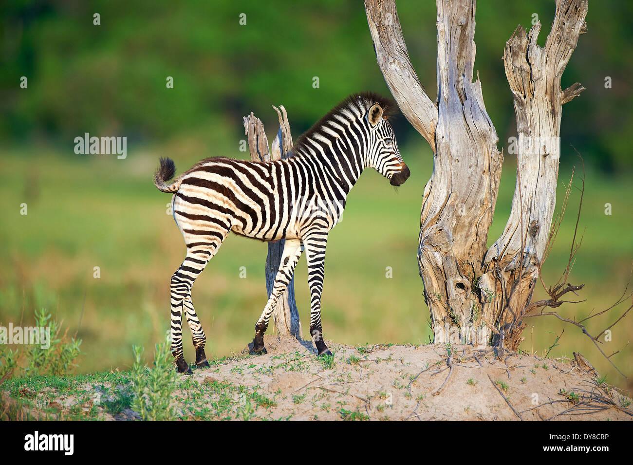Botswana, Africa, Moremi, zebra, animal, - Stock Image