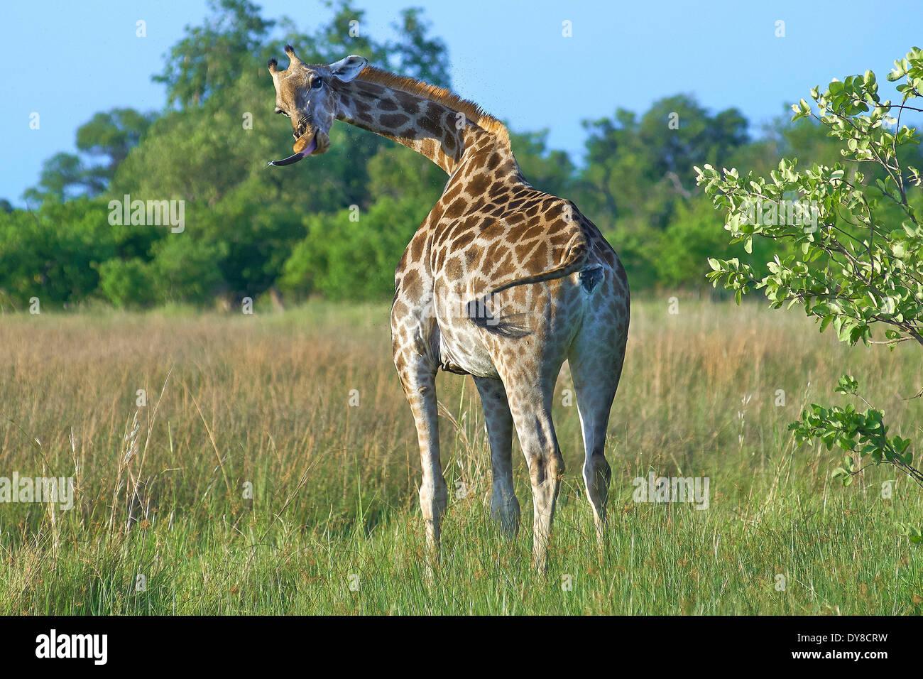 Botswana, Africa, giraffe, Moremi, animals, - Stock Image