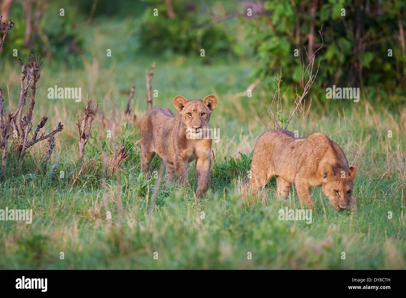 Botswana, Africa, lion, Savuti, grass, animals, - Stock Image