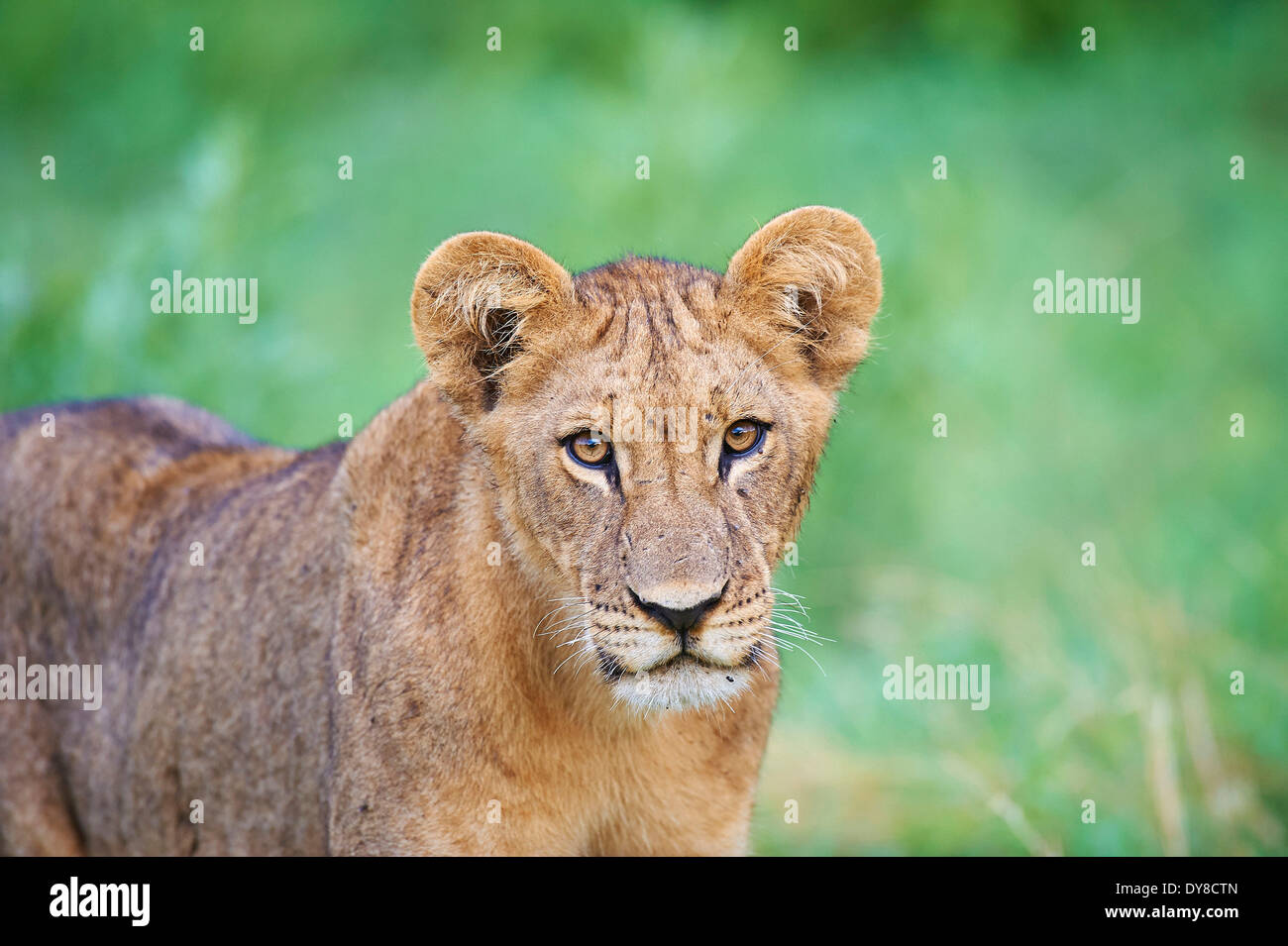 Botswana, Africa, lion, Savuti, animal, - Stock Image