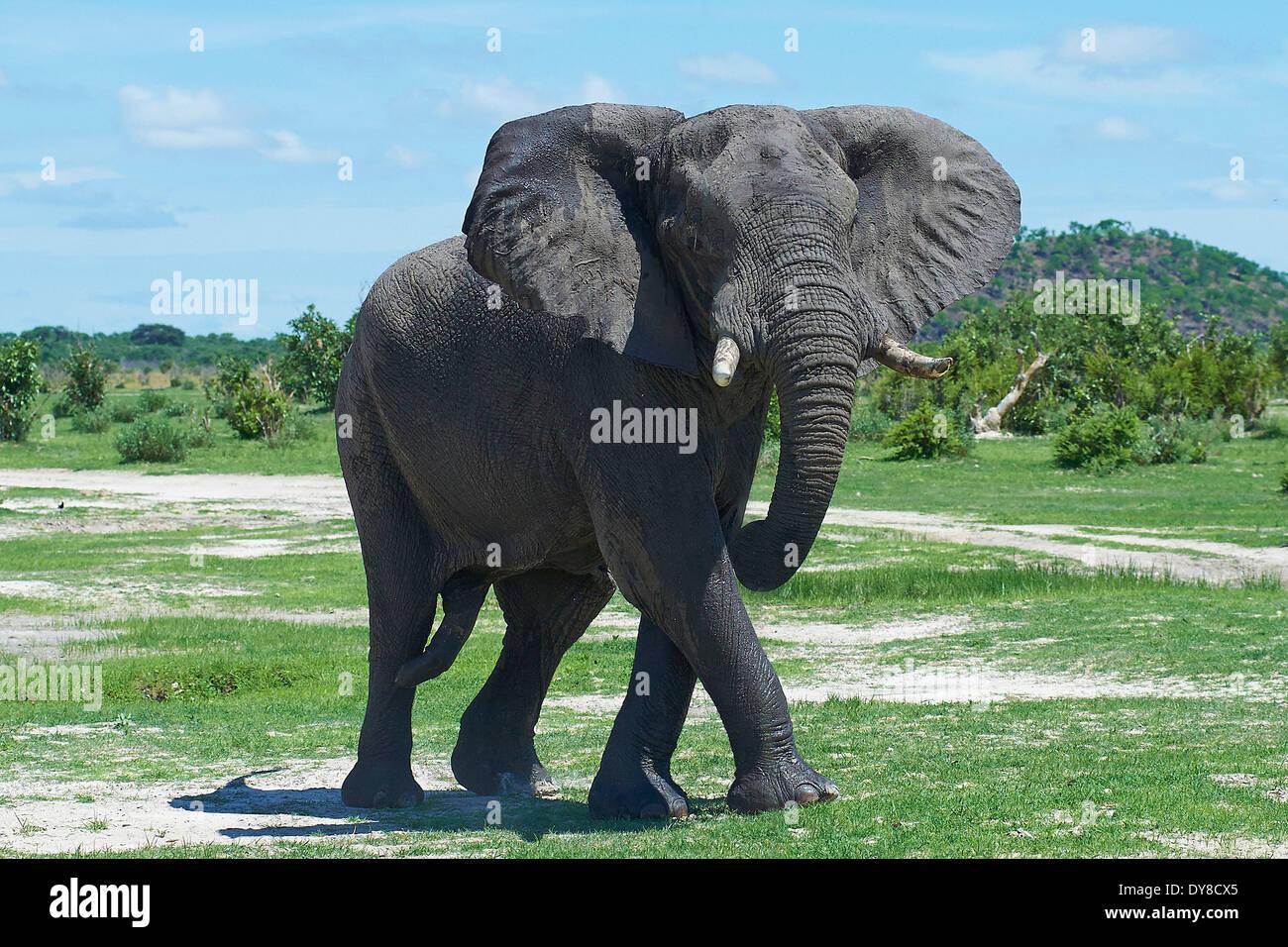 Botswana, Africa, elephant, Savuti, animal, - Stock Image