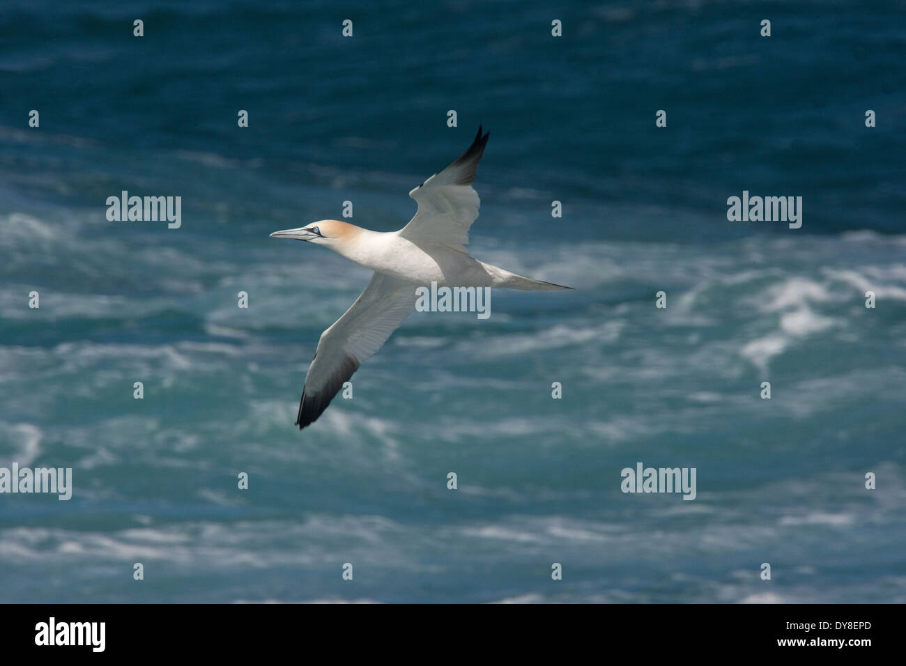An adult Northern Gannet flying low over a rough sea off Cornwall, UK. - Stock Image