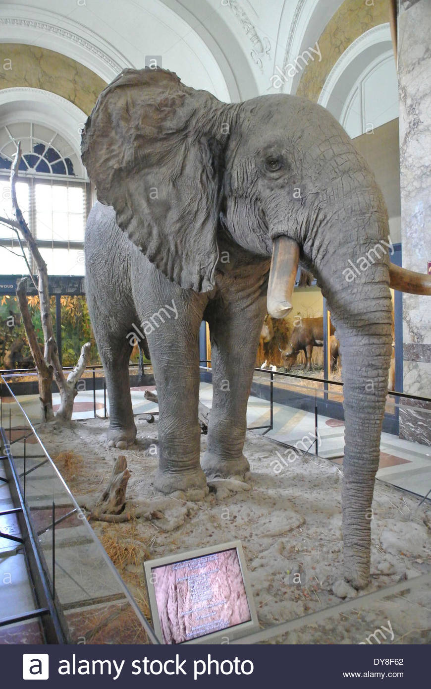 FILE PHOTO - About 1.7 tons of ivory, with an estimated value of 680,000 euros ($930,000) seized over recent years is destroyed today, April 9, 2014, at the Royal Museum for Central Africa. Belgium becomes the latest country to destroy its ivory stockpile as Europe takes a harder look at wildlife trafficking. Reports say, 36.500 elephants are killed for their ivory every year. Ambassadors and dignitaries from various nations, including from the U.S., France, the U.K., and the key elephant-range states of Tanzania and South Africa attended the event. The museum was closed for renovation on 1 De - Stock Image
