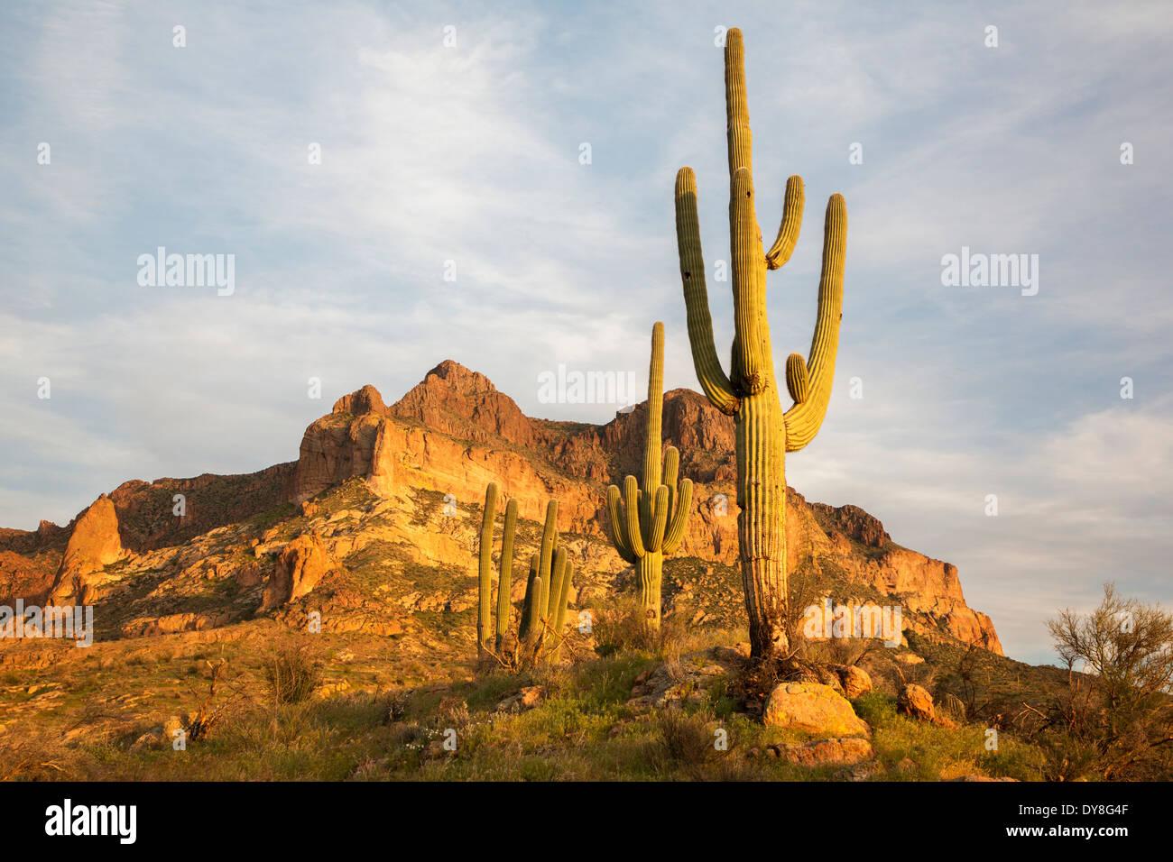 USA, Arizona, Tonto National Forest, Picketpost Mountain with saguaro. - Stock Image