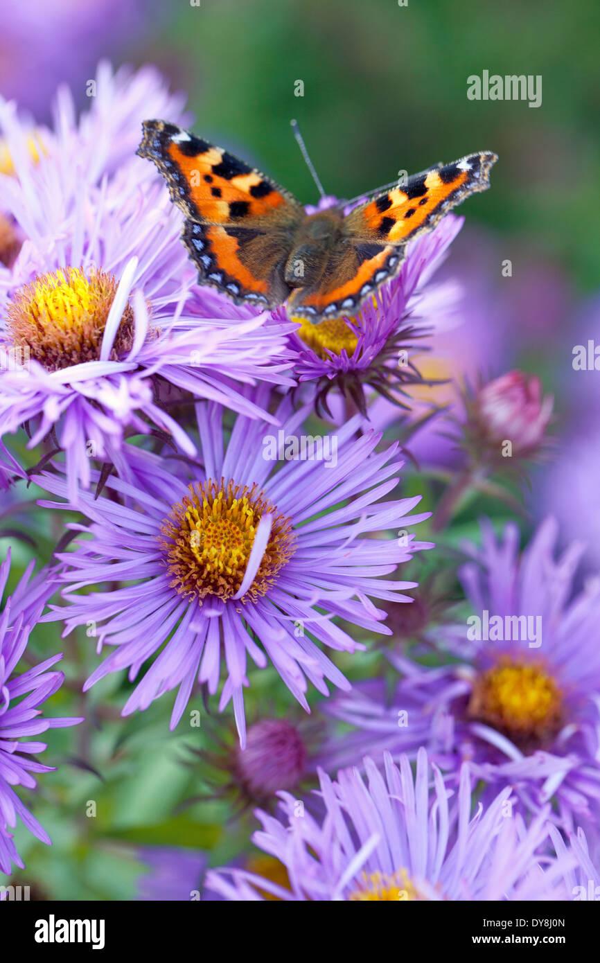 Small Tortoiseshell Butterfly on Aster novae-angliae 'Mrs S. T. Wright'. Starwort; Frost flower. Perennial, September. - Stock Image