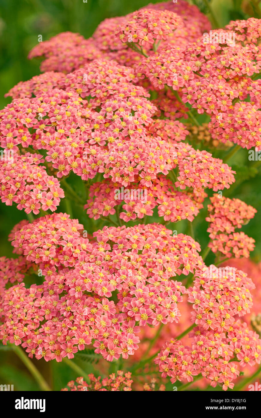 Close up of Achillea millefolium Peachy Seduction, Yarrow, Tutti Frutti Series. June. Summer. Salmon pink flowers. - Stock Image