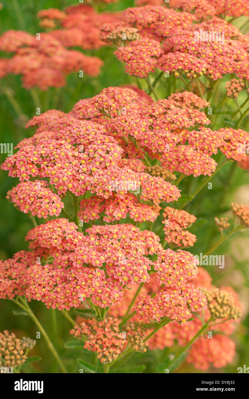 Close up of Achillea millefolium Peachy Seduction, Yarrow, Tutti Frutti Series. Salmon pink flowers. - Stock Image