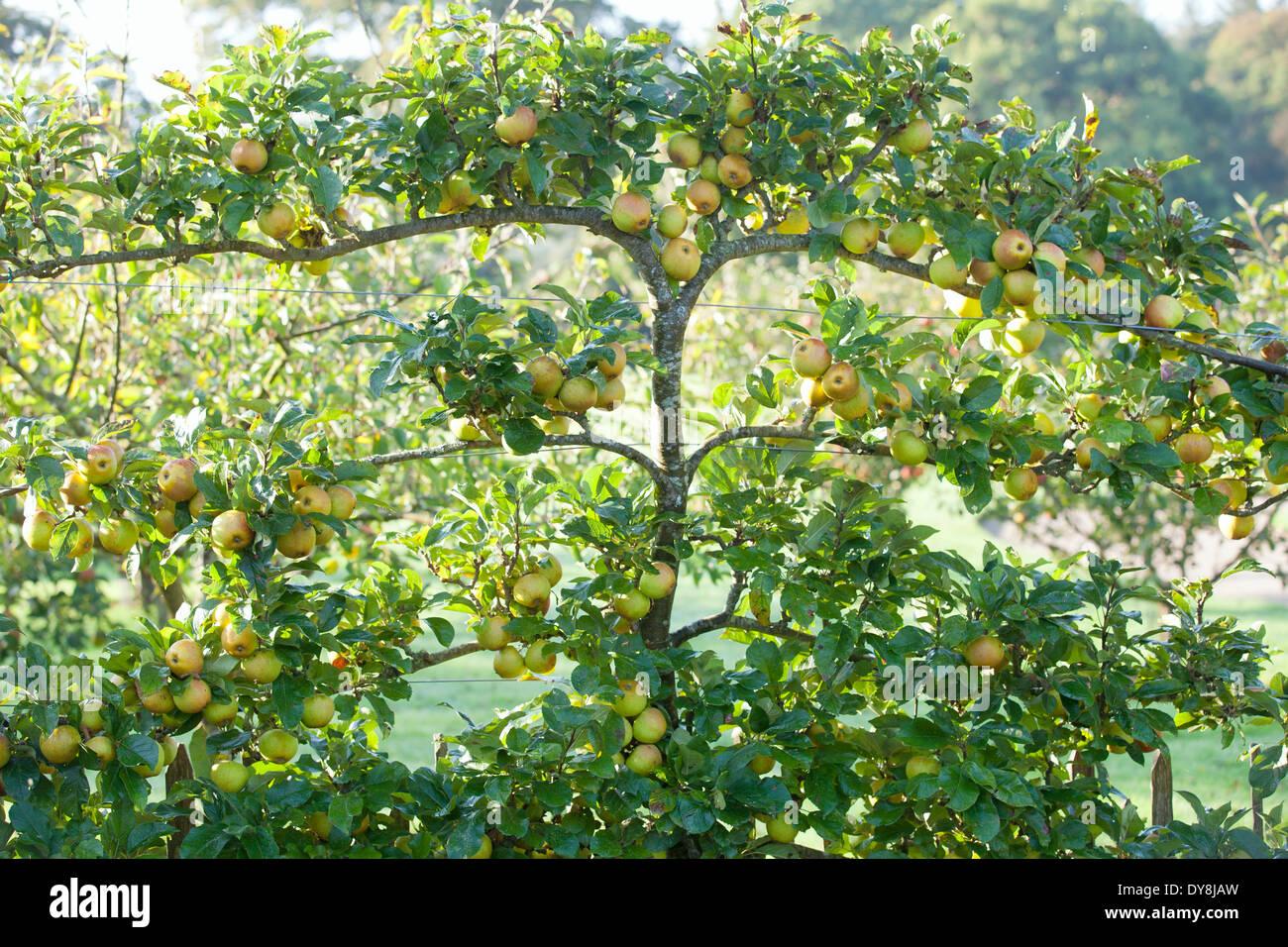 Malus Rosemary Russet, Apple. September, Autumn. Espaliered apple tree bearing fruit. - Stock Image