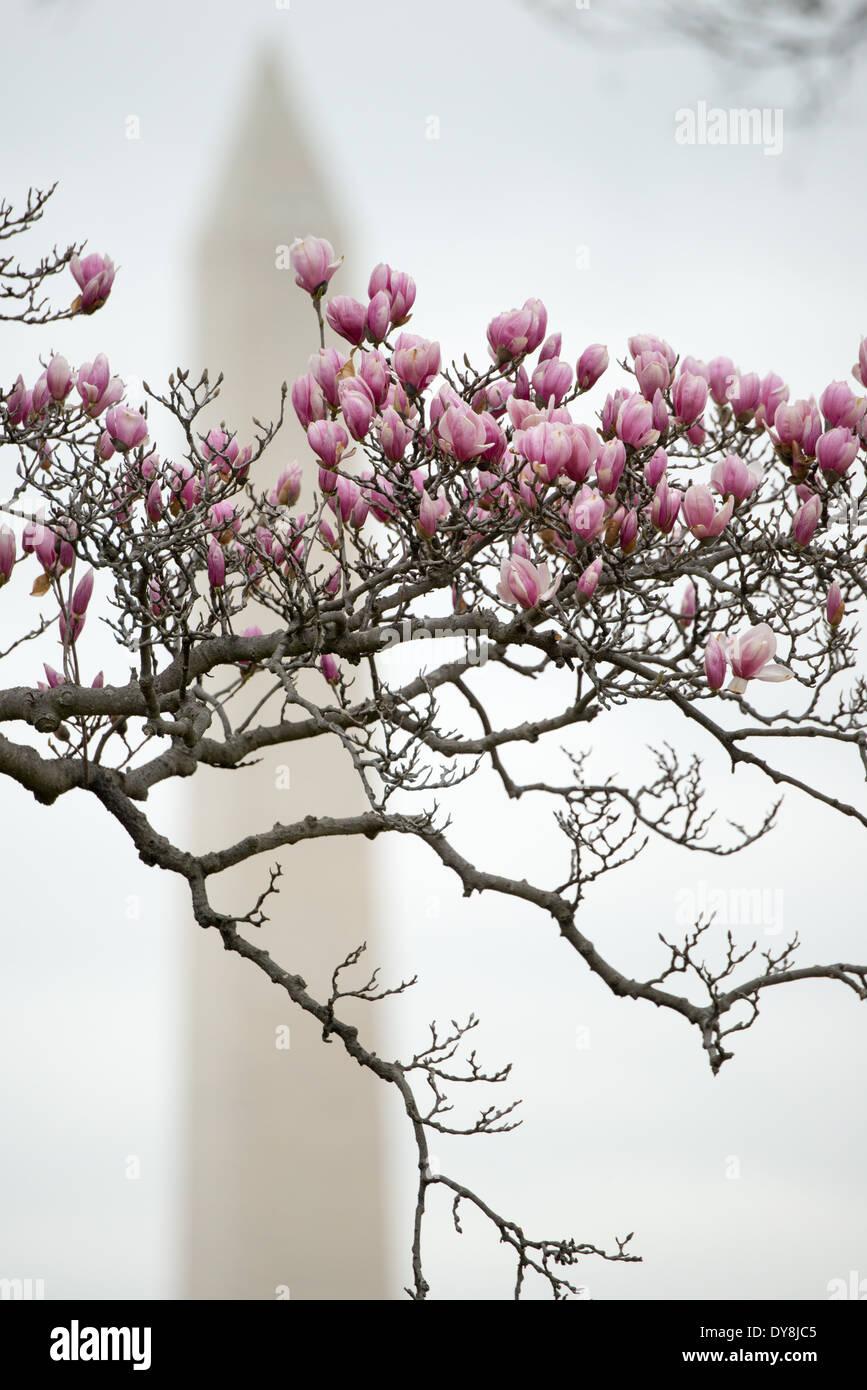 Washington Dc Usa Tulip Magnolias Starting To Bloom Near The