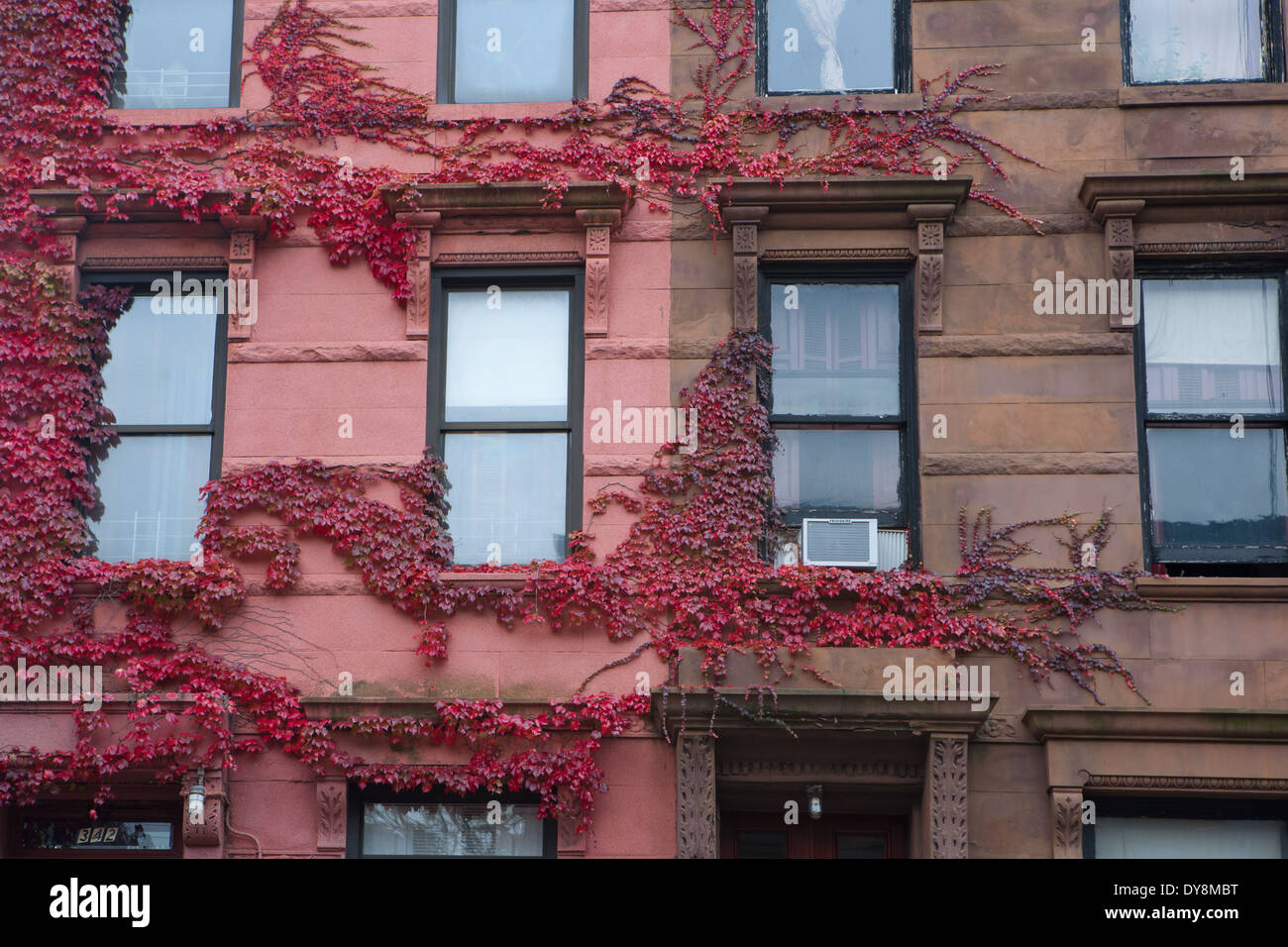 Harlem Brownstone side by side with pink ivy, New York, USA - Stock Image