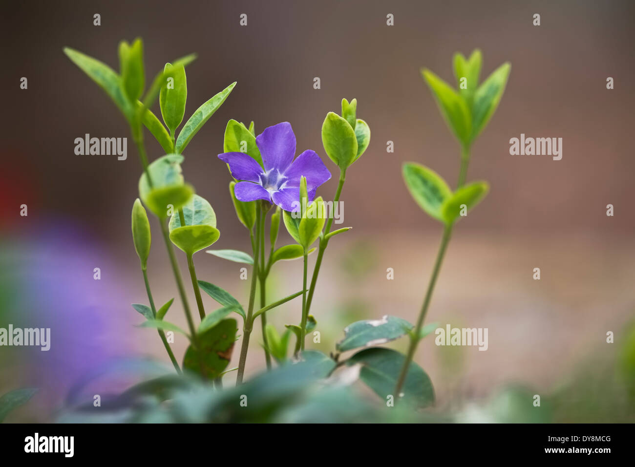 Vinca Bowles. Groundcover flowering Vine - Stock Image