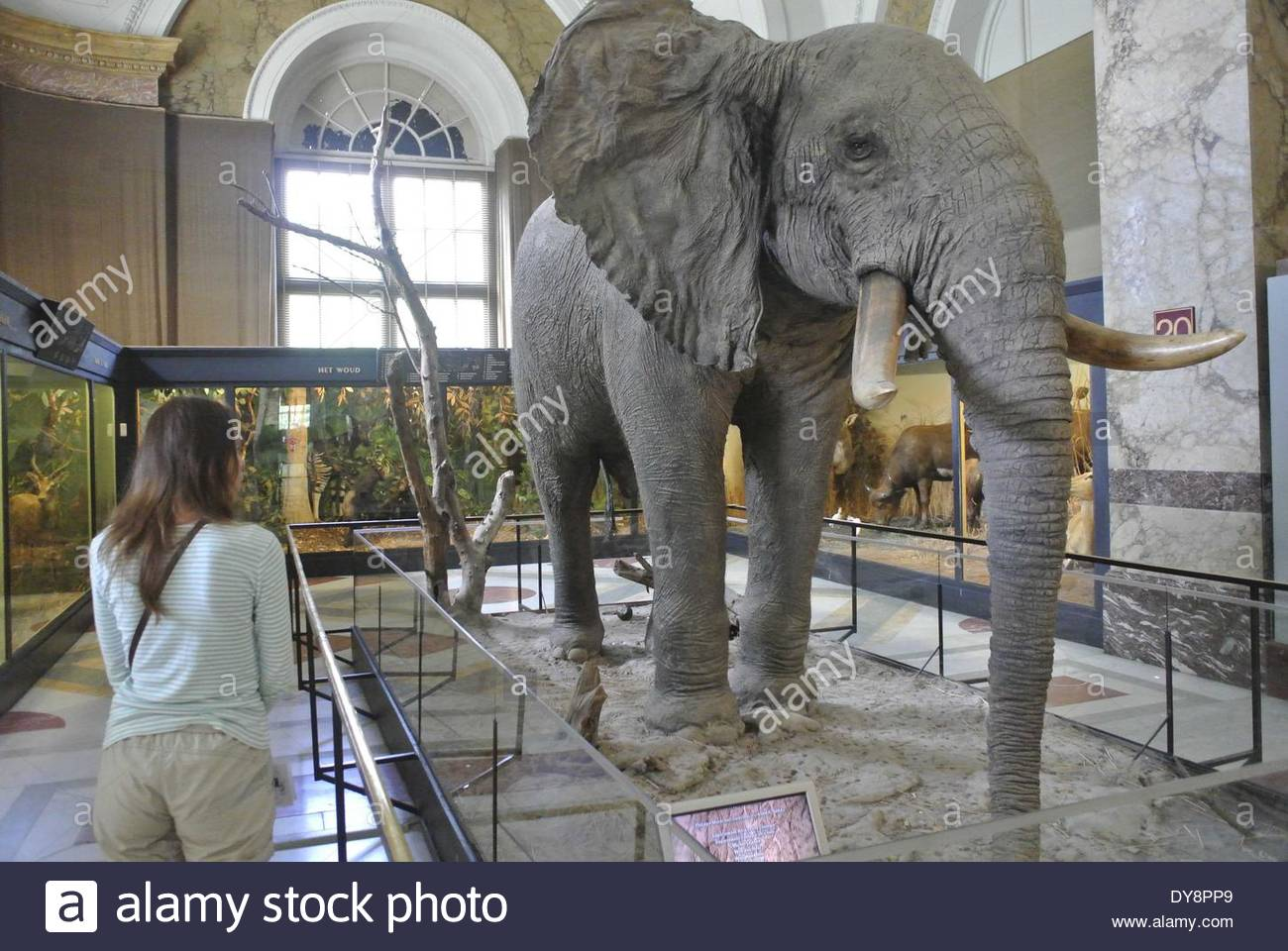 Brussels, Belgium. 25th Aug, 2013. FILE PHOTO - About 1.7 tons of ivory, with an estimated value of 680,000 euros ($930,000) seized over recent years is destroyed today, April 9, 2014, at the Royal Museum for Central Africa. Belgium becomes the latest country to destroy its ivory stockpile as Europe takes a harder look at wildlife trafficking. Reports say, 36.500 elephants are killed for their ivory every year. Ambassadors and dignitaries from various nations, including from the U.S., France, the U.K., and the key elephant-range states of Tanzania and South Africa attended the event. The - Stock Image