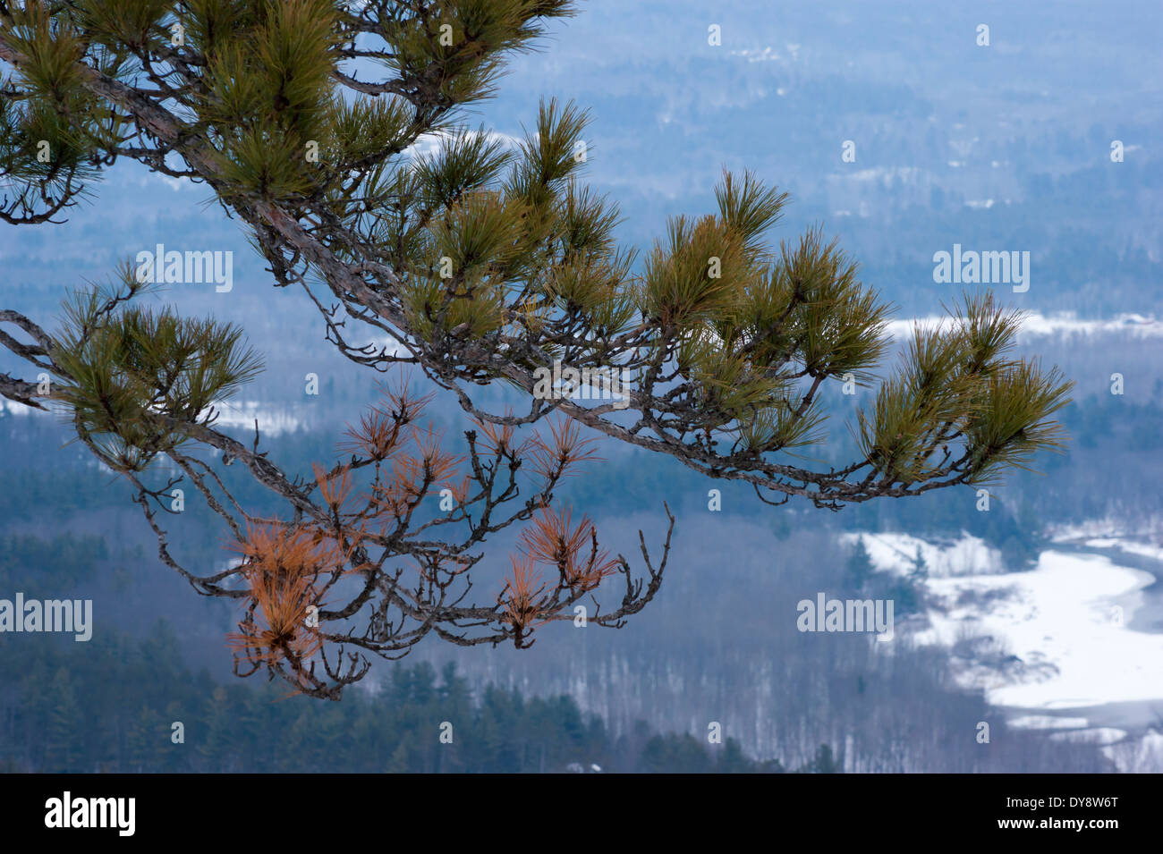 Pine tree branch against a wintry forest backdrop - Stock Image