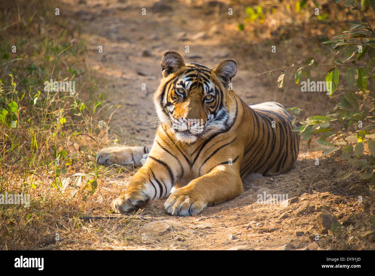 Indian, tiger, Ranthambore, national park, Asia, India, Rajasthan, animal, - Stock Image