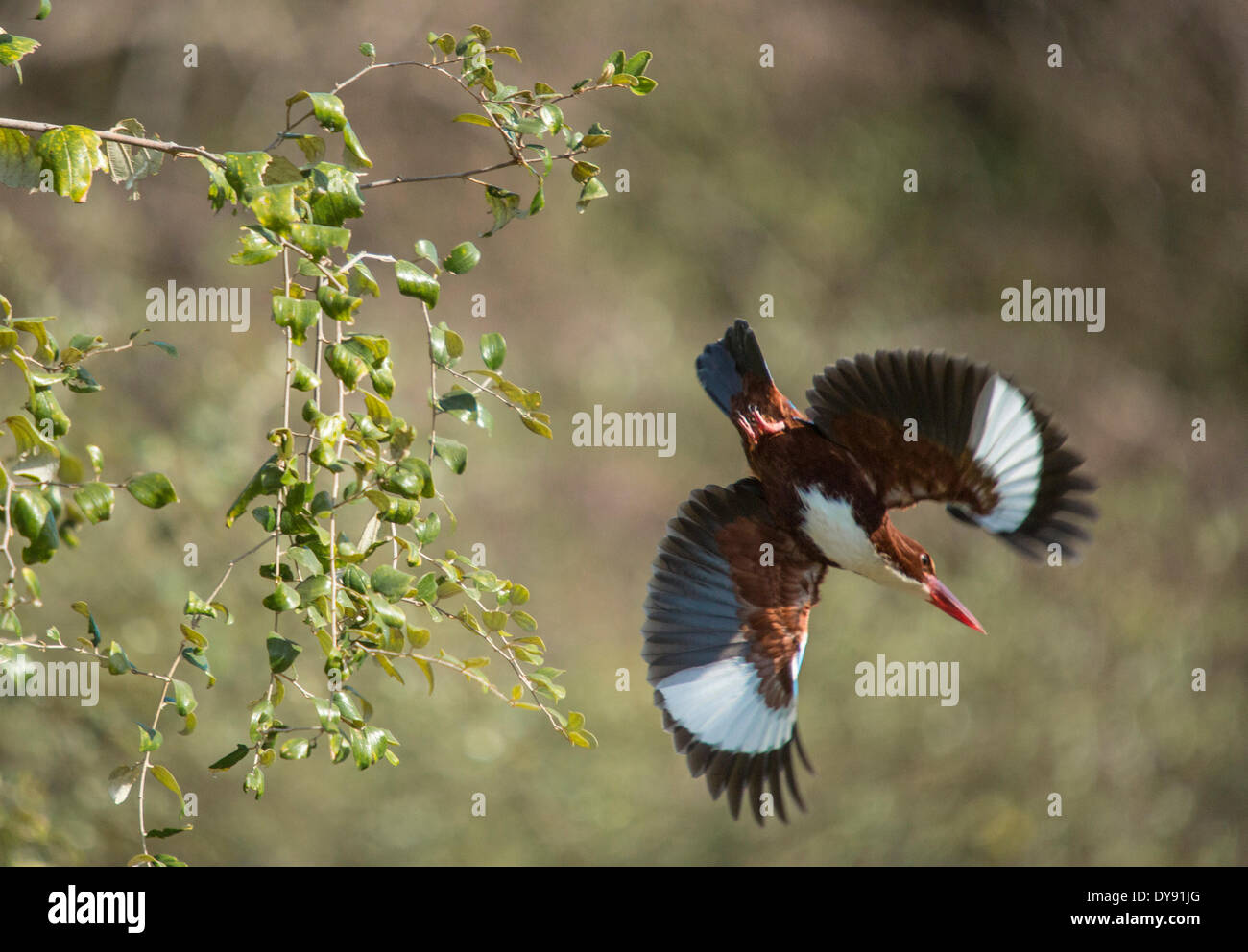 Indian, kingfisher, Ranthambore, national park, Asia, India, animals, Rajasthan, - Stock Image
