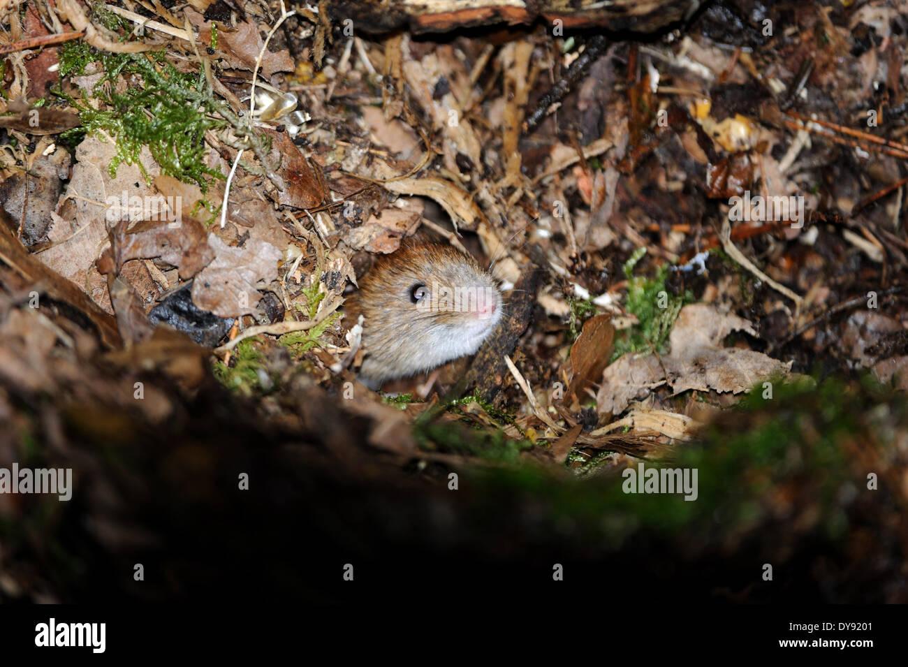 bank vole wintry forest ground Myodes glareolus mouse mammals vertebrates mice field mice voles muroids cricetids bank voles, - Stock Image