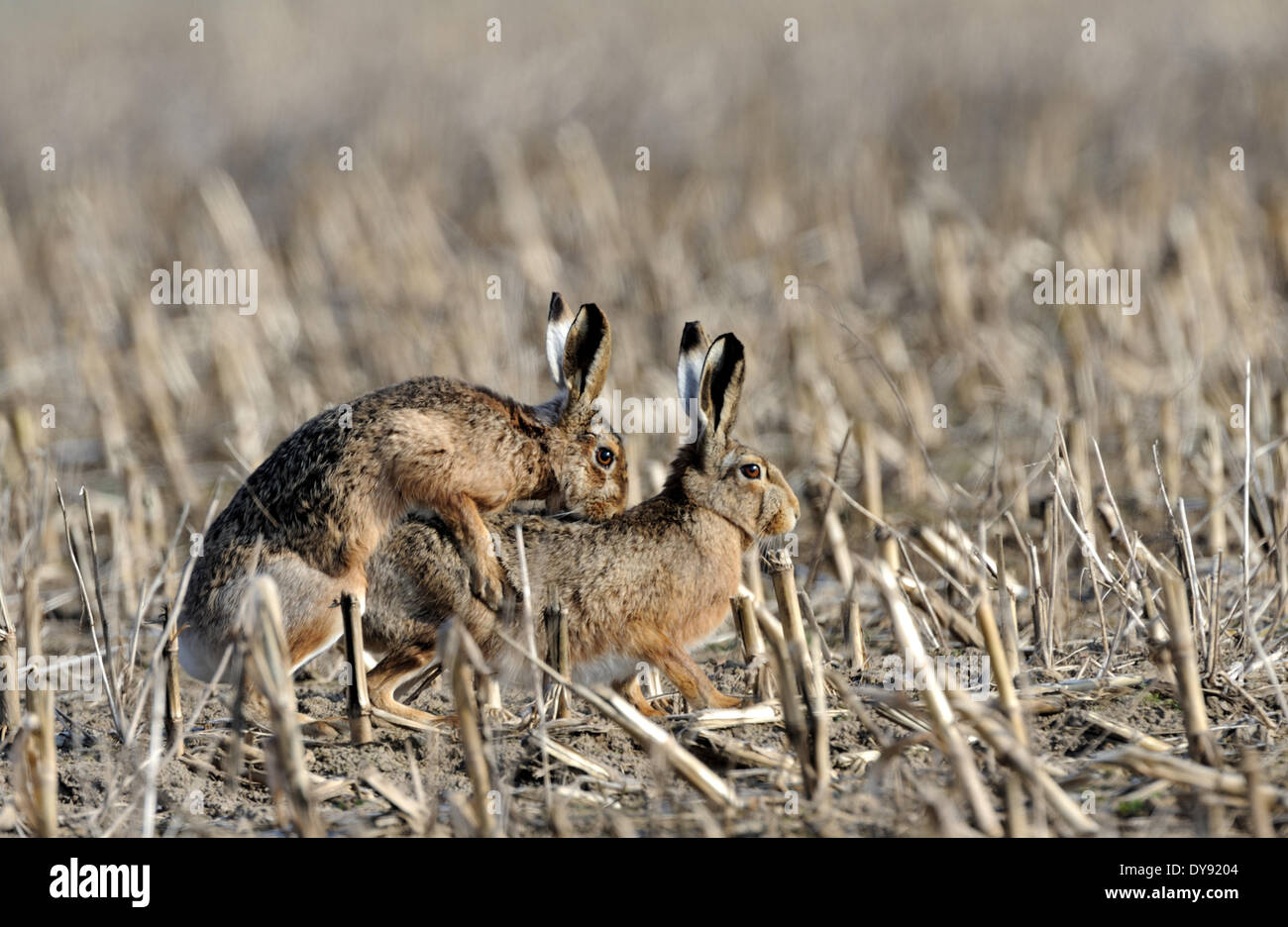 Hare Rabbit Lepus europaeus Pallas brown hare bunny rodent nature wild animal game stubble field mating animals - Stock Image