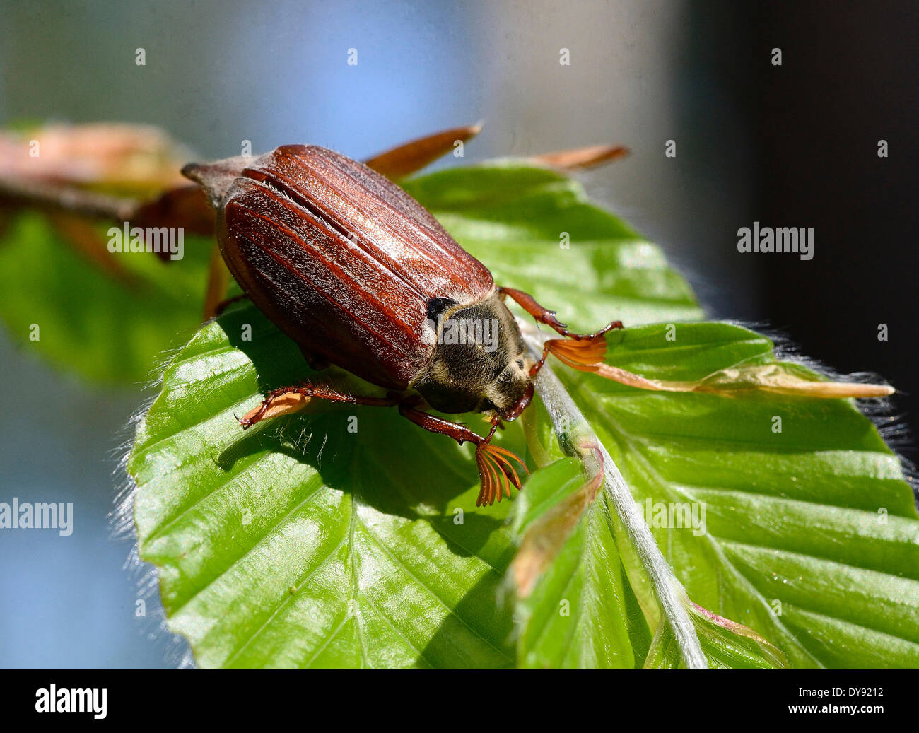 Cockchafer, Melolontha, insects, scarab beetles, Polypagha, beetle, creepy-crawlies, animal, animals, Germany, Europe, Stock Photo