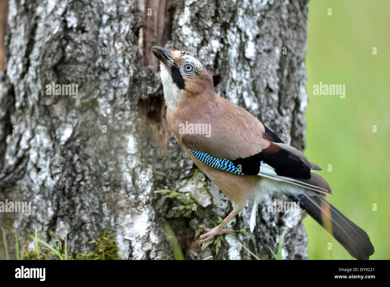 Jay, songbirds, passerines, corvids, Garrulus glandarius, birds, bird, animal, animals, Germany, Europe, - Stock Image