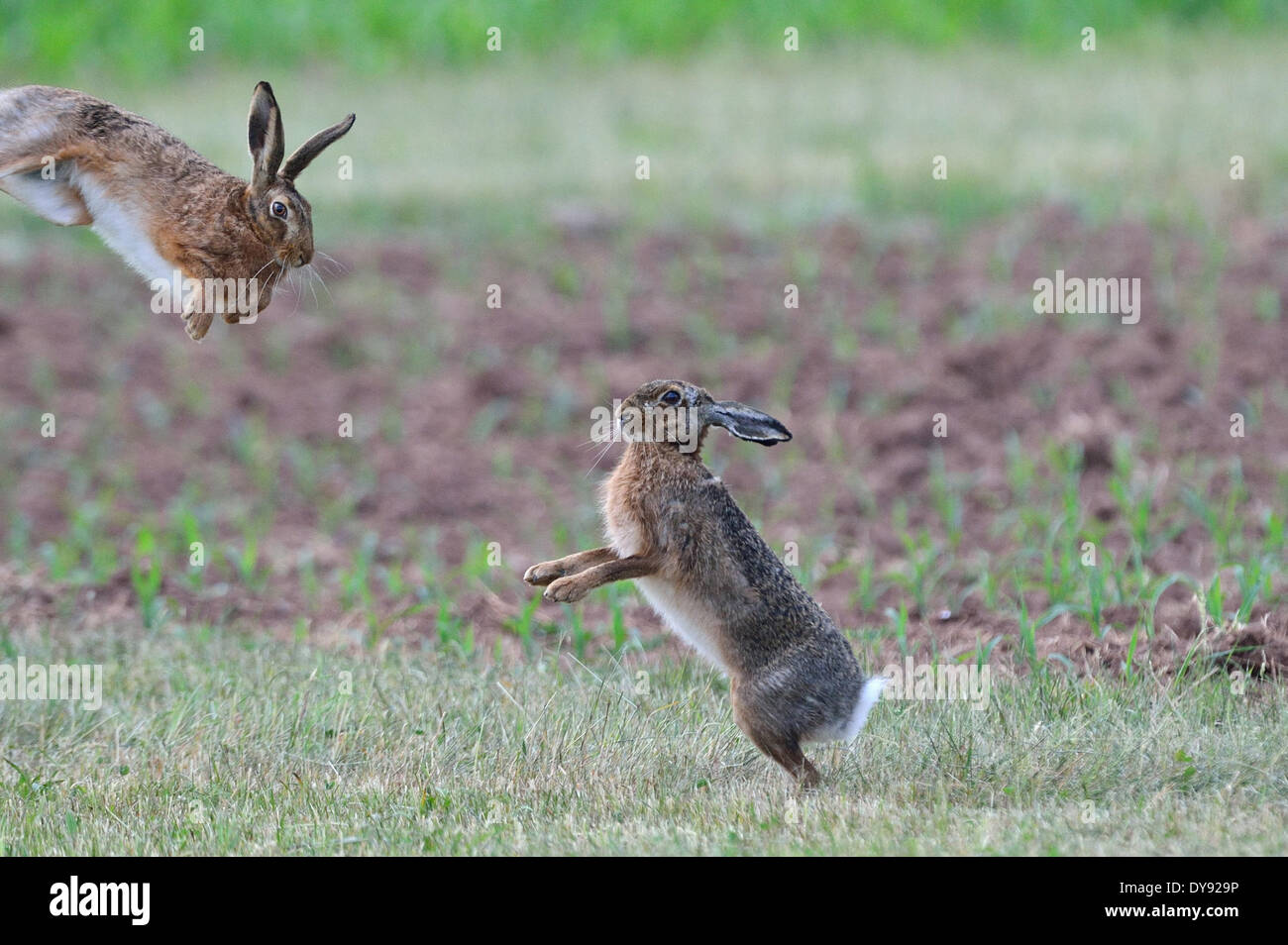 Hare Rabbit Lepus europaeus Pallas brown hare bunny hares rabbits May rodent nature wild animal game animal animals Germany, - Stock Image