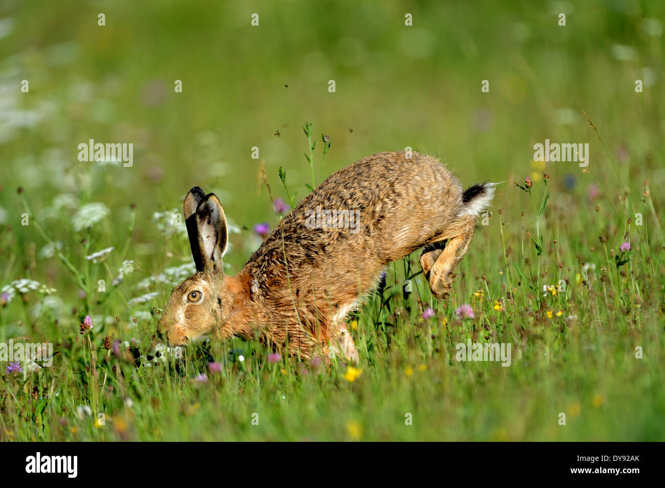 Hare Rabbit Lepus europaeus Pallas brown hare bunny field hare flower meadow rodent nature wild animal game animal animals Ger - Stock Image