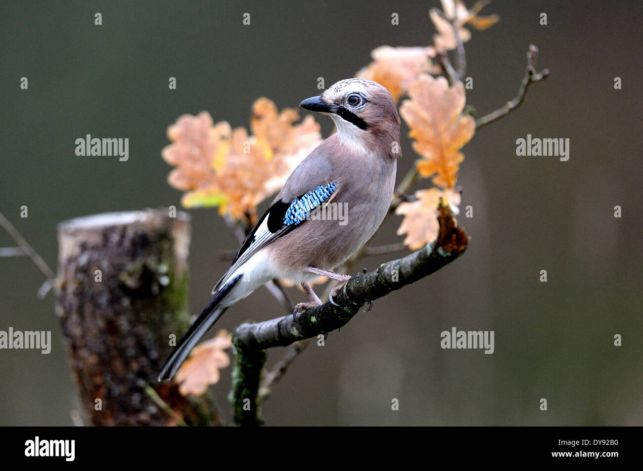 Jay, songbirds, passerines, corvids, Garrulus glandarius, birds, bird, autumn, animal, animals, Germany, Europe, - Stock Image
