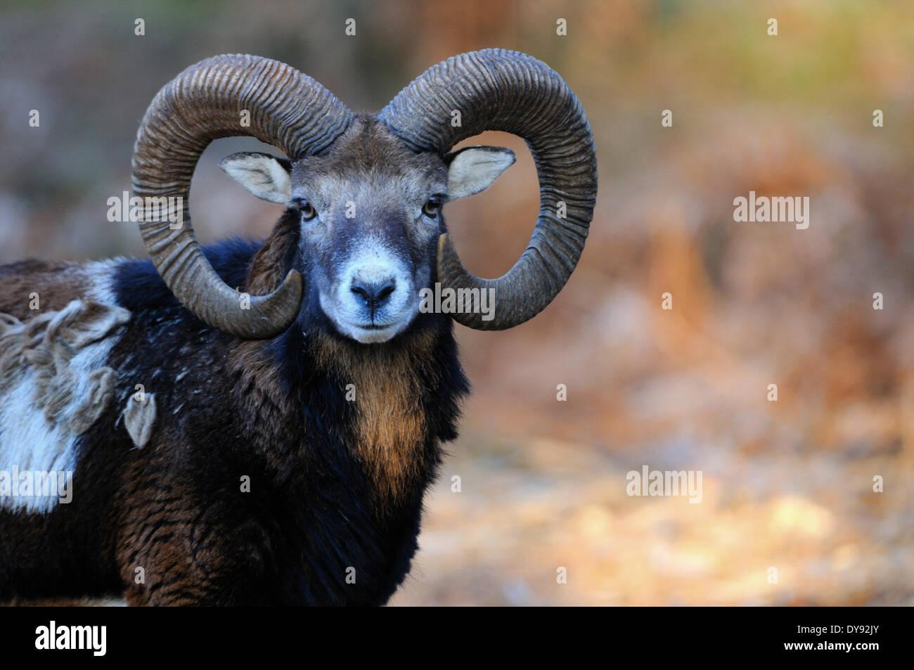 Mufflon ram mountain sheep Ovis ammon musimon winter coat sheep wild sheep goat-antelopes horn horns Mufflons animal Stock Photo